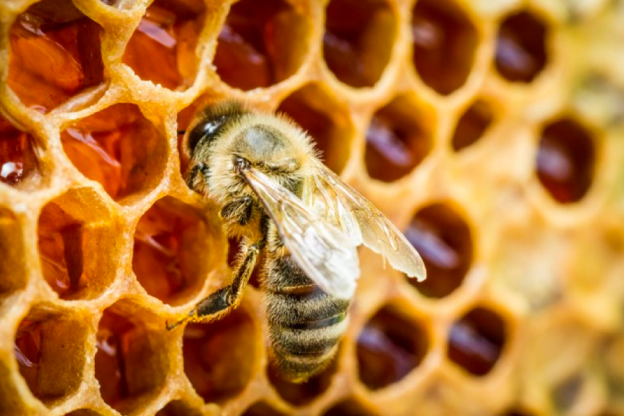 vegani non mangiano il miele