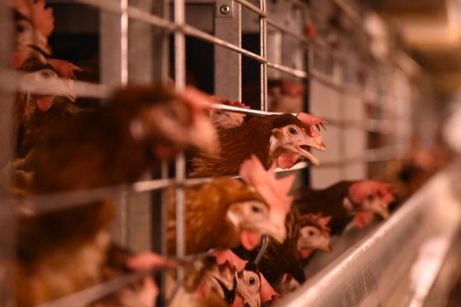 anche le uova nascondono sofferenza per gli animali